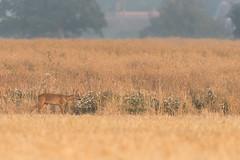 Sunrise deer (Stickyemu) Tags: wildlife nature deer roedeer sunrise goldenhour summer nikond500 nikon200500mmf56