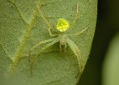Araneus cingulatus (Matt Claghorn) Tags: tokina100mmf28 nikond50 ohiospiders spider orbweaver araneuscingulatus macro