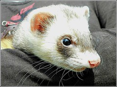 Introducing  ' Oscar ' the Ferret ... (** Janets Photos **) Tags: uk hull citycentres events mammals ferrets macro closeups