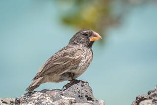 Large Ground Finch - Female 500_4712.jpg