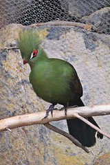 green bird :) (green_lover (away for a week)) Tags: turaco bird birds animals branch junglepark tenerife canaryislands spain zoo green