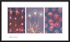 Shasta daisy triptych (julesnene) Tags: california flower juliasumangil sunprint alternativephotography backyard flora julesnene lumen lumenart nocamera photogram triptych withoutalens