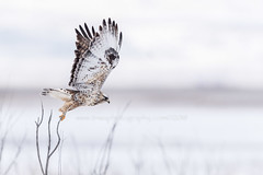 Launch Initiated (TNWA Photography (Debbie Tubridy)) Tags: roughleggedhawk hawk raptor birdofprey bird launch jump wings feathers wingspan hunt feed survival winter snowy baretrees wildlife nature habitat environment wild natural behavior activity wilderness utah outdoors debbietubridy tnwaphotography cold