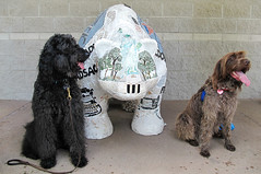 """""""Gracie's Back!!"""" (Bennilover) Tags: dog dogs playing ball running eating chasing posing bears wirehairedpointinggriffon gracie labradoodle benni 52weeksfordogs"""
