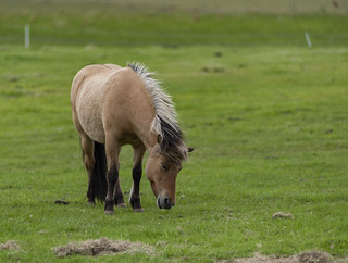 Grazing Icelandic Horse in Hella
