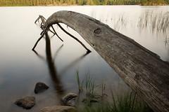 träd (Håkan Jylhä (Thanks for +500000 views)) Tags: träd vatten tree water old gammal trädstam long exposure bulb sony rx10 håkan jylhä sweden sverige