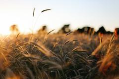 golden grain (Pics by Abigail) Tags: grain wheat golden summer evening wisconsin goldenhour goldengrain fields farming farmfields 50mm14 50mm canon 6d fullframe