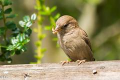 180718_65 (whotneckst) Tags: nikond7200 nikkor300mmafed kenkox14 birds