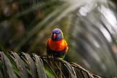 Curious (Rico the noob) Tags: dof bokeh d850 closeup birds 70200mmf28 animal published 2018 bird teneriffa 70200mm animals eye tenerife nature indoor