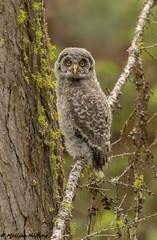 Great Gray Owlet (Strix nebulosa) - BC (bcbirdergirl) Tags: bobbydarin cute greatgrayowlet bc owl owlet baby young juvie cutie fluffball fluffy ilovegreatgrays ggow greatgreyowl strixnebulosa canada