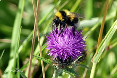 Buff-tailed Bumblebee, Great Cumbrae (Eddie the Eagle-eye) Tags: insects bees wildlife clyde cumbrae coast islands millport