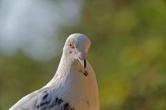 DSC_1653_DxO (robfarmiloe) Tags: tc200 d750 pigeon wildlife nikon dove white 400mm f35 nikkor