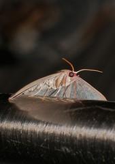 Blotchy Geometrid moth Prasinocyma sp aff rhodocosma Geometrinae Geometridae Airlie Beach rainforest P1360986 (Steve & Alison1) Tags: blotchy geometrid moth sp geometridae airlie beach rainforest prasinocyma aff rhodocosma geometrinae