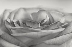 Rosenblüte (st.ri1) Tags: rose schwarzundweis schönheit schön blume blumenbokeh sw canonfotografie canon tamron90mm tamron monochrome