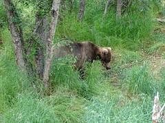 DSC07536 (jrucker94) Tags: alaska katmai katmainationalpark nationalpark bear bears grizzly grizzlybear brooksriver nature outdoors