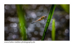 Vierfleck / four-spotted chaser (Libellula quadrimaculata) (H. Roebke) Tags: 2018 libelle damsel canon100400mmf4556lisiiusm bokeh stöckenfriedhof dragonfly nature hannover telemakro green insect de lightroom animal canon 7dmkii