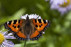 Papillon (bebopeloula) Tags: photorobertcrosnier 2018 89 bourgogne europe faune france nikond700 tonnerre yonne animaux couleurs exotique fleur insecte invertébrés macro papillon