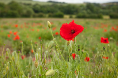 Darent Valley Kent (Adam Swaine) Tags: commonpoppy poppies darentvalley eynsford england english englishlandscapes britain british wildflowers kent kentishvillages kentishlandscapes rural ruralkent fields touring counties countryside canon petals arable uk ukcounties walks