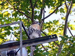 Lonely and Hungry - 1180 (rbs10025) Tags: redtailedhawk buteojamaicensis bird young fledgling grantstomb generalgrantnationalmemorial morningsideheights manhattan nyc