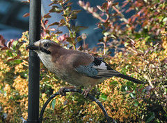 Jay (toasterjones) Tags: jay corvid garden nuts feeder bristol avongorge fujixt2 fujixc50230