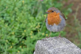 Red Robin - DSC_0363