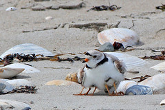 Tight squeeze (cheryl.rose83) Tags: pipingplover plover chicks beach horseneckbeach