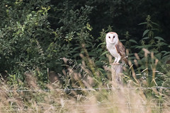 Barn Owl - Woods Mill (52) (Malcolm Bull) Tags: include woods mill 20180620woodsmill0052edited1web barn owl wild
