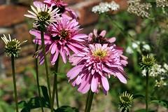 "Echinecea purpura ""Pink Double Delight"" (Jim Atkins Sr) Tags: echineceapurpurapink double delight echinaceapurpurea purpleconeflower herbaceousperennial flower closeup garden sony sonyphotographing sonya58 tryonpalace doubleconeflower"