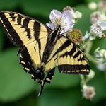 Canadian Tiger Swallowtail thumbnail