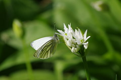 Rapsweißling (Aah-Yeah) Tags: rapsweisling greenveined white pieris napi schmetterling butterfly tagfalter achental chiemgau bayern