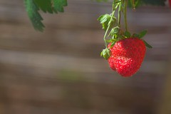 strawberry express (galdelamare) Tags: strawberry fraise red rouge