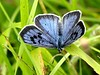 Large Blue 19.6.18 (ericy202) Tags: largeblue butterfly danewaybanks gloucestershire wildlifetrust cotswolds