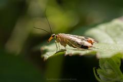 Scorpion fly (Daniel James Greenwood) Tags: nikond750 danielgreenwood danielgreenwoodphotography westsussex horsham chesworthfarm june2018 scorpionfly