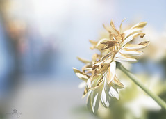 summer breeze (rockinmonique) Tags: flower bloom blossom petal dried old yellow blue green light bokeh macor pretty summer soft romantic moniquewphotography canon canont6s tamron tamron45mm copyright2018moniquewphotography