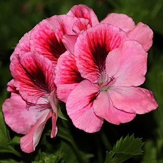Toronto Ontario ~ Canada ~ Edwards Gardens ~ Botanical Garden ~  Pink  Beauty