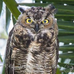 Giving you the eye… (SchwanSongs) Tags: owls gho greathornedowl bubo virginianus nest owlet tamron150600 canonusa schwansongs