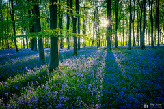 Bluebell Woodland (tonywoodphotography.com) Tags: bluebells bluebell woodland wiltshire sony a7rii forest landscape nature sun sunset uk flowers wild countryside