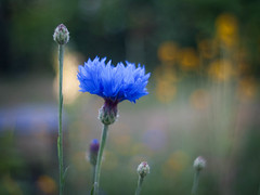 Summer Blues (ursulamller900) Tags: centaureacyanus pentacon2829 cornflower kornblume mygarden bokeh summer blue