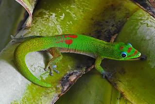 Kailua - Licking Gecko