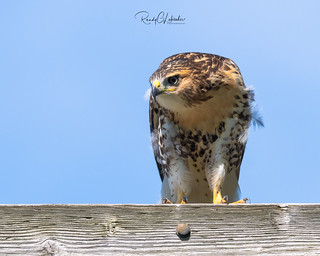 Red-tailed Hawk - Buteo jamaicensis | 2018 - 16