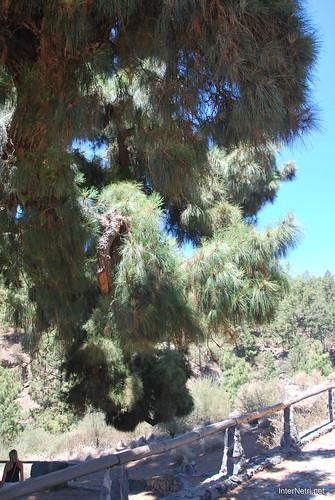 Найстаріша канарська сосна, Тенеріфе, Канари  InterNetri  15