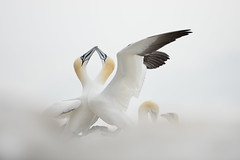 Northern Gannet (Daniel Trim) Tags: gannet northern morus bassanus saltee great island bird nature sea colony photography wildlife animals sky