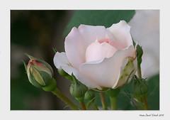 tendresse de rose (dany.schoulz) Tags: flore végétal nature jardin fleur plante rose