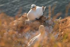 Sunrise Northern Gannet Chick (and parents) (EmPhoto.) Tags: gannetchick gannet gannetfamily wild nature bemptonrspb eastyorkshire uk emmiejgee wildaboutnature canoneos70d tamron150600mm goldenhour morusbassanus