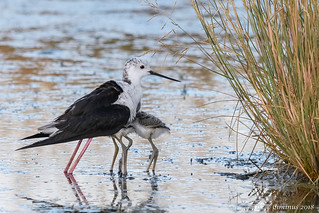 Female Black-winged stilt  (Himantopus himantopus) protects its young.