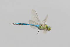 Male emperor dragonfly (badger2028) Tags: male emperor dragonfly flight flying