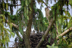 Cooper's Hawk with Chick in Nest (jblorx) Tags: hawk chick nest franklin county ohio celestron c6 f63 corrector 945mm bird coopers