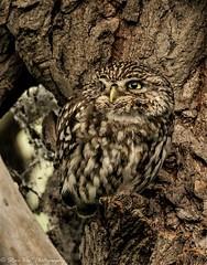 Little Owl (Steve Ball Photography) Tags: littleowl little owl owls nature ngc animal animals wildlife raptor uk bird birdofprey birdwatching
