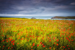 Windswept Poppies (Rich Walker75) Tags: cornwall poppies poppy field sea coast coastline moody storm sky clouds cloud landscape landscapes landscapephotography england canon eos80d eos flowers flower nationaltrust