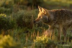 Close Encounter (craig goettsch) Tags: yellowstone2018 coyote mammal wildlife nature animals canine nikon d500 coth5